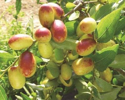 生鮮紅棗 台灣唯一產區